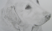 Pencil drawing of a labrador